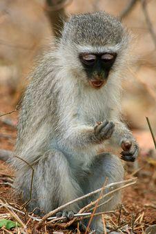 Free Sweet Monkey Royalty Free Stock Images - 8328559