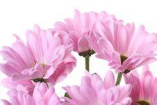 Free Pink Chrysanthemum. Stock Image - 8328641