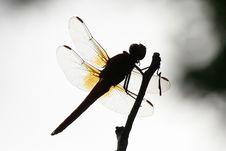 Free Dragonfly Shadow Royalty Free Stock Photos - 8328728
