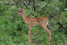 Free Impala Fawn Royalty Free Stock Photography - 8329367