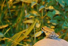 Free Frog Stock Photography - 8329432