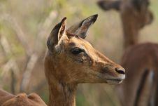 Free Impala Stock Images - 8329514