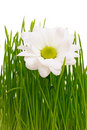 Free Daisy In Grass Royalty Free Stock Images - 8334679