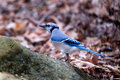 Free Blue-Jay Stock Photography - 8334852