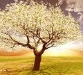 Free Blossoming Tree Royalty Free Stock Photo - 8335385