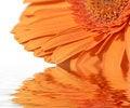Free Orange Gerber Royalty Free Stock Photo - 8337765