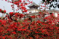 Free Nongke Village, China: Spring Flowering Quince Royalty Free Stock Photos - 8339248