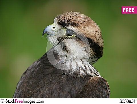 Lanner Falcon Stock Photo