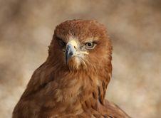 Free Tawny Eagle Royalty Free Stock Photo - 8330005