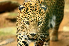 Free Leopard Royalty Free Stock Photo - 8330535