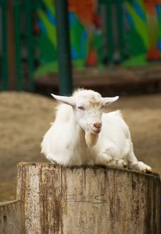 Free Goat Kid Royalty Free Stock Photos - 8330658
