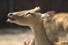 Free Antelope Royalty Free Stock Image - 8330706