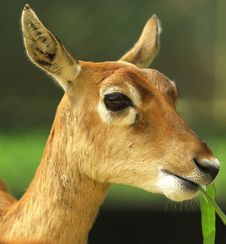 Free Deer Royalty Free Stock Image - 8330746