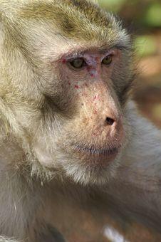 Free Monkey Portrait Royalty Free Stock Photo - 8330935