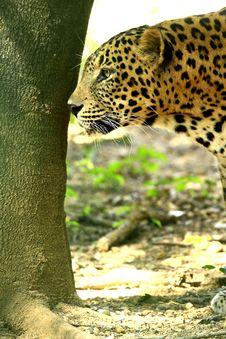 Free Leopard Royalty Free Stock Photos - 8330988