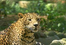 Free Leopard Stock Photography - 8331192