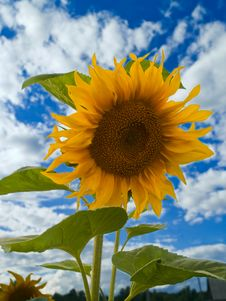 Free Sunflower Over Sky Royalty Free Stock Photo - 8331265