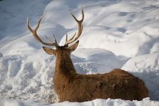 Free Deer On The Snow Stock Photos - 8331583