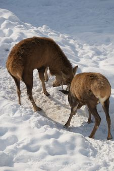Free Deers Fighting On The Snow Stock Photo - 8331590