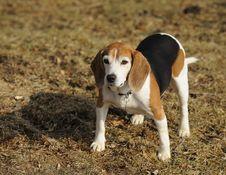 Free Alert Beagle Stock Photo - 8331620