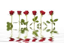 Free Rose Stock Images - 8332464