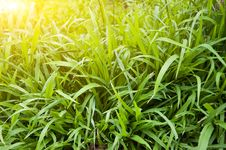 Free Fresh Green Grass Royalty Free Stock Images - 8332539