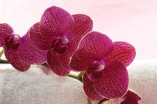 Free Orchid Royalty Free Stock Image - 8333106