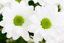 Free White Chrysanthemum Flowers Royalty Free Stock Photo - 8333175