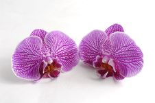 Free Orchid Royalty Free Stock Photos - 8333248