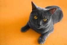 Free British Cat Stock Images - 8333544