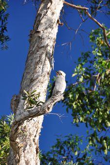 Free Kookaburra Royalty Free Stock Image - 8334096