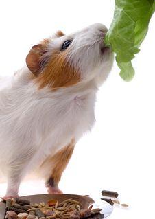 Free Guinea Pig Stock Photo - 8334290