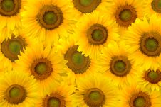 Free Background Of Yellow Sunflowers Royalty Free Stock Image - 8334346