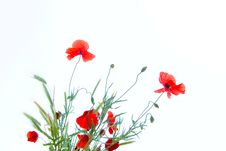 Free Poppy Stock Photos - 8334843