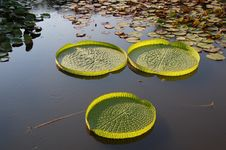 Free Lotus Leaves Isolated Stock Photography - 8335342