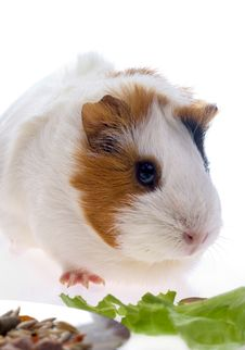 Free Guinea Pig Stock Photography - 8335492