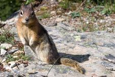Free Squirrel Royalty Free Stock Photography - 8335647