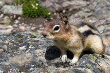 Free Squirrel Royalty Free Stock Image - 8335656