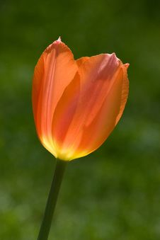 Free Tulip Royalty Free Stock Photo - 8335675