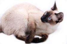 Free Siamese Cat Stock Image - 8335721