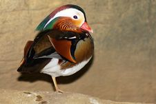 Free Mandarin Duck Royalty Free Stock Photos - 8336188