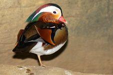 Free Mandarin Duck Royalty Free Stock Photos - 8336188