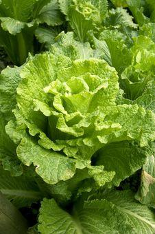 Free Cabbage Stock Photos - 8337063