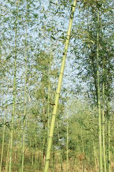 Free Bamboo Grove Royalty Free Stock Image - 8337086