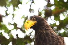 Free Eagle Royalty Free Stock Images - 8337099