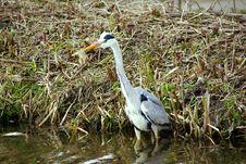 Free Grey Heron Royalty Free Stock Images - 8337459
