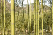 Free Bamboo Grove Stock Photos - 8337703