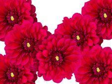 Flowers Dahlias A Close Up Royalty Free Stock Image