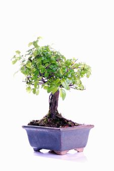 Free Bonsai Tree Stock Photography - 8338512