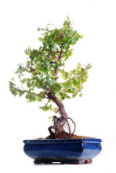 Free Bonsai Tree Royalty Free Stock Photos - 8338518